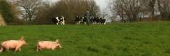 cropped-cochons-et-vaches-convertimage-1024x342